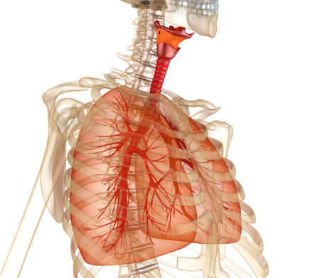 respiration: Human lungs, trachea and skeleton. Medically accurate 3D illustration Stock Photo