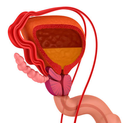 Próstata y al sistema reproductivo masculino aislado en blanco