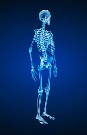 Human skeleton, xray view. Medically accurate 3d illustration.