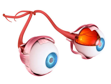Eye anatomy - inner structure, Medically accurate 3D illustration Stock Photo