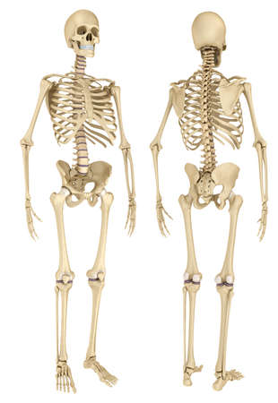 Human skeleton isolated, Medically accurate 3d illustration.
