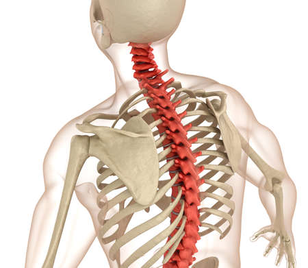 human anatomy: Spinal anatomy. Medically accurate 3D illustration