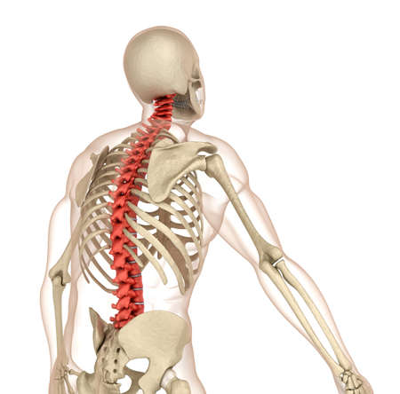 Spinal anatomy. Medically accurate 3D illustration