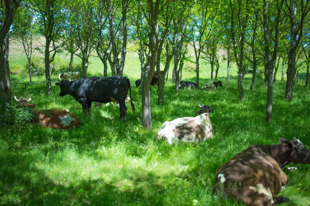 Cows in a forest, rest time Stock Photo