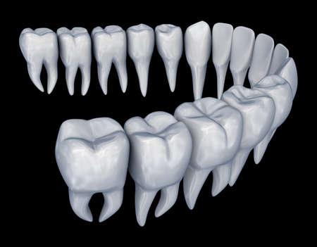 Human Teeth 3d instalation. Medically accurate dentistry anatomy.