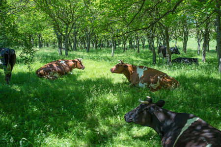 cud: Cows in a forest, rest time Stock Photo