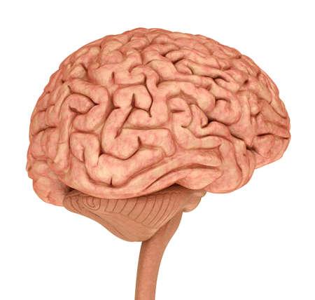 sistema nervioso central: Modelo de cerebro humano 3D, aislado en blanco.