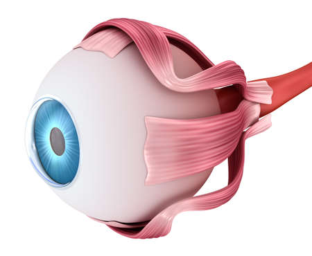 Eye anatomy - inner structure, Medically accurate 3D illustration.