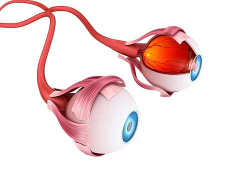 目の解剖学 - 内部構造、医学的に正確な 3 D イラスト。