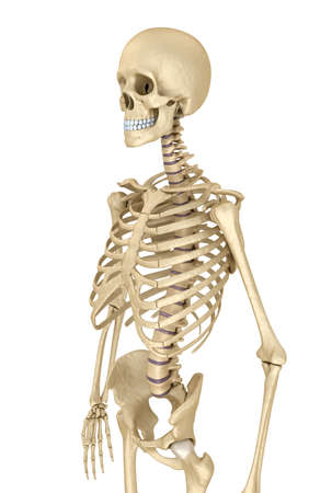 Human skeleton isolated, Medically accurate 3d illustration. Banque d'images