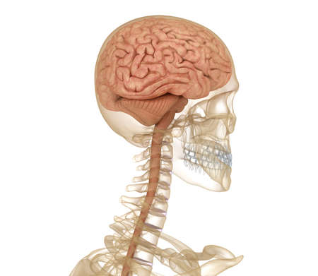 Brain and skeleton, human anatomy. Medically accurate 3D illustration