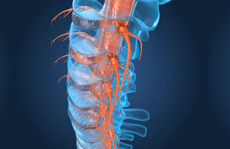 Spine anatomy x-ray macro view, 3d render