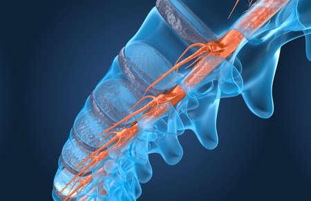 Spine anatomy x-ray macro view, 3d render