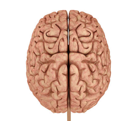 Human brain 3D model, isolated on white. Medically accurate 3D illustration Stockfoto