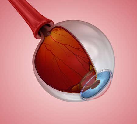 Eye anatomy - inner structure,  3D illustration