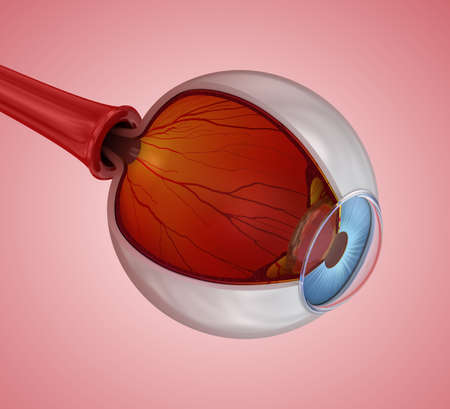 Eye anatomy - inner structure, Medically accurate 3D illustration .