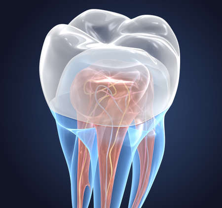 Transparent teeth with crown. 3d renderings of endodontics inner structure over white background