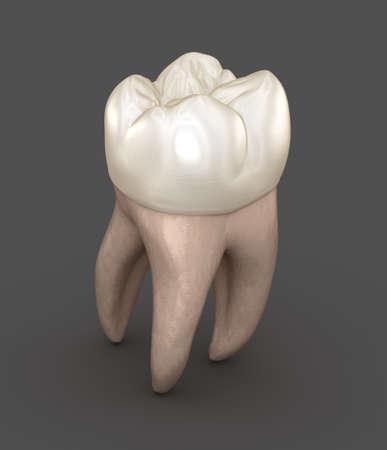 Dental anatomy - First maxillary molar tooth. Medically accurate dental 3D illustration