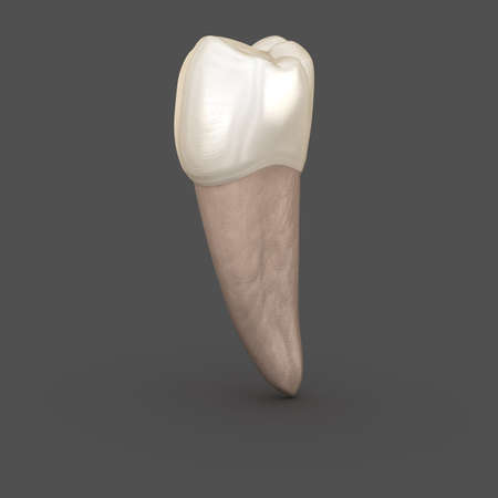 Dental anatomy - Mandibular Second premolar tooth. Medically accurate dental 3D illustration Stock Photo