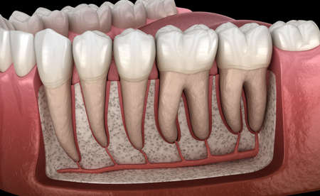 Dental Root anatomy of mandibular human gum and teeth, x-ray view. Medically accurate tooth 3D illustration