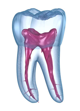 Dental root anatomy - First maxillary molar tooth. Medically accurate dental 3D illustration