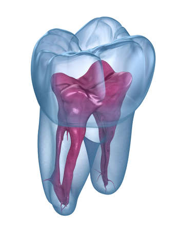 Anatomía de la raíz dental: primer molar superior. Ilustración 3D dental médicamente exacta Foto de archivo