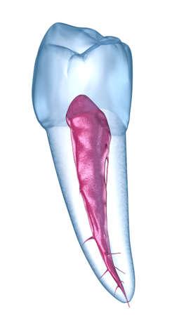 Dental anatomy - Mandibular Second premolar tooth. Medically accurate dental 3D illustration 写真素材