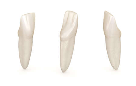 Dental anatomy - mandibular central incisor tooth. Medically accurate dental 3D illustration Stock Photo