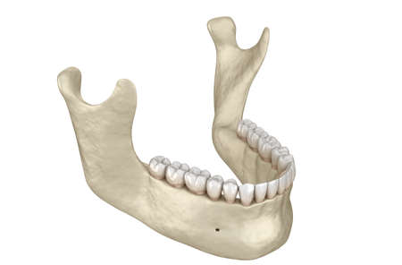 Mandibular jaw anatomy. 3D illustration concept of human teeth