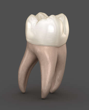 Dental anatomy - First maxillary molar tooth. Medically accurate dental 3D illustration Foto de archivo - 130665517