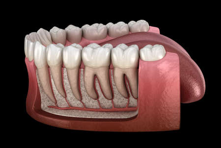 Dental Root anatomy of mandibular human gum and teeth, x-ray view. Medically accurate tooth 3D illustration Stockfoto