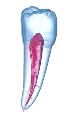 Dental root anatomy - Mandibular Second premolar tooth. Medically accurate dental 3D illustration