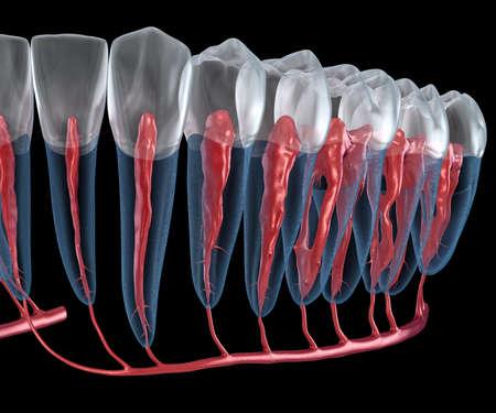 Anatomía de la raíz dental, vista de rayos X. Ilustración 3D dental médicamente exacta Foto de archivo