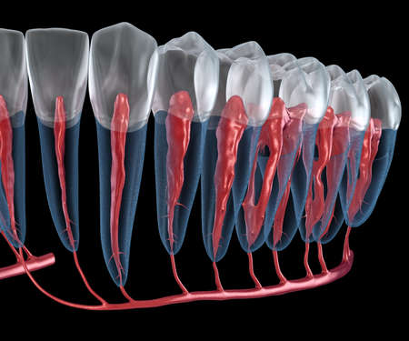Dental root anatomy, Xray view. Medically accurate dental 3D illustration Stock Photo