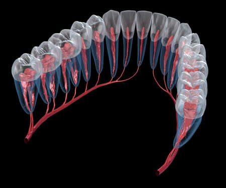 Dental root anatomy, Xray view. Medically accurate dental 3D illustration Banque d'images