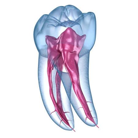 Dental root anatomy - First mandibular molar tooth. Medically accurate dental 3D illustration