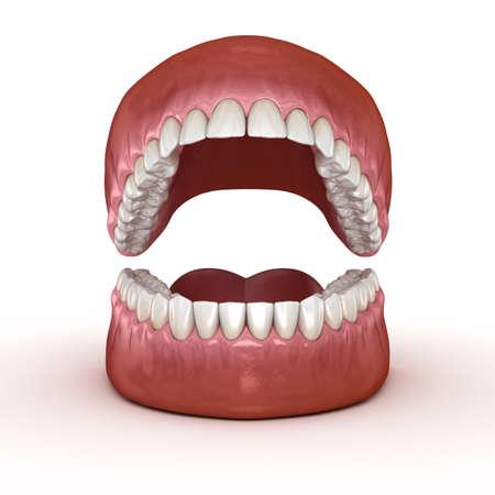 Dental anatomy - Opened Dentures. Medically accurate dental 3D illustration