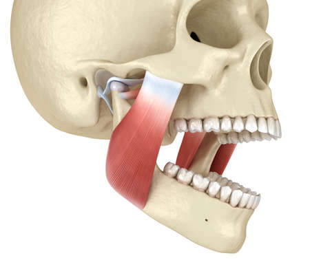 TMJ: The temporomandibular joints and muscles. Medically accurate 3D illustration. Banque d'images