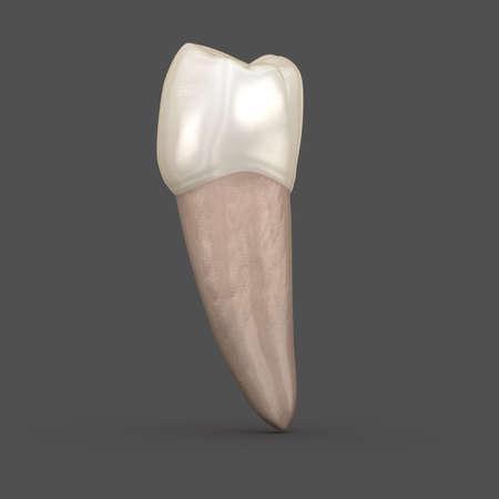 Dental anatomy - Mandibular Second premolar tooth. Medically accurate dental 3D illustration