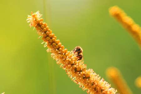 Bee pollination Stok Fotoğraf