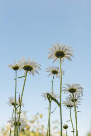 Chamomile view of the sky from the bottom Imagens