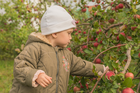 The Child Picks Apples From Tree Photo
