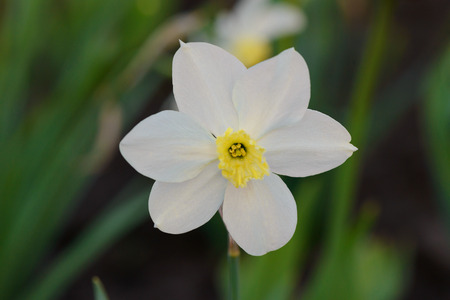 one white daffodil flower against a background of a green flower bed