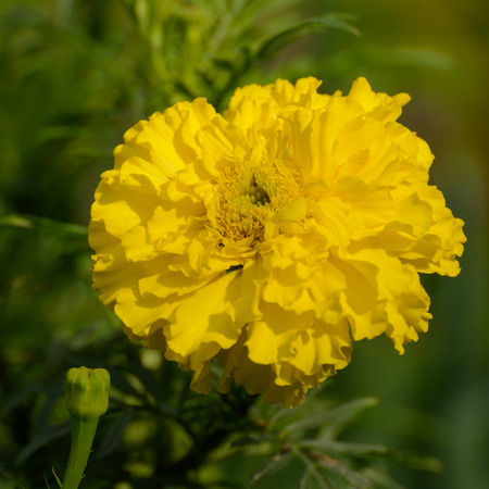 yellow marigold flower on a green meadow