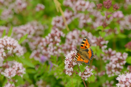 butterfly sits on the inflorescences of oregano en green meadow