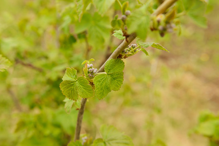 currant bush branch with young leaves and buds