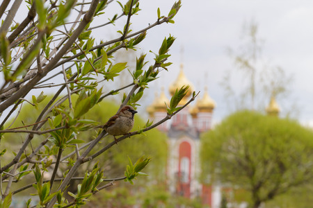sparrow sits on the branches of a bush against the background of the church domes on a spring afternoon