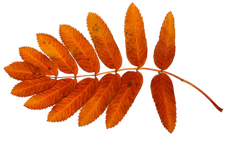 bright red leaf of mountain ash on a white background