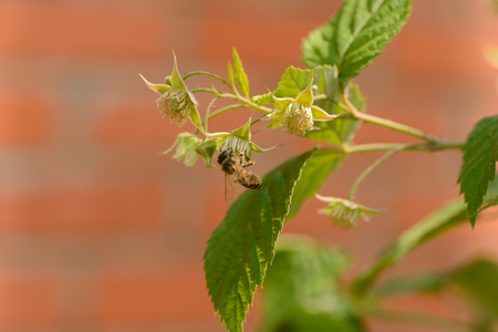 Bee collects nectar from raspberry flowers in the garden