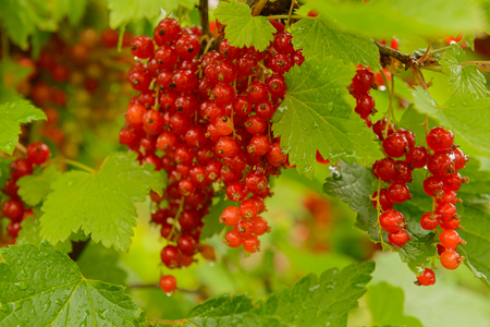Clusters of red currants on green branches with water drops after rain Zdjęcie Seryjne